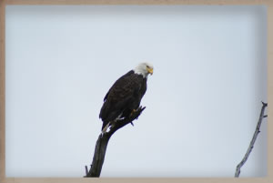 eagleintree